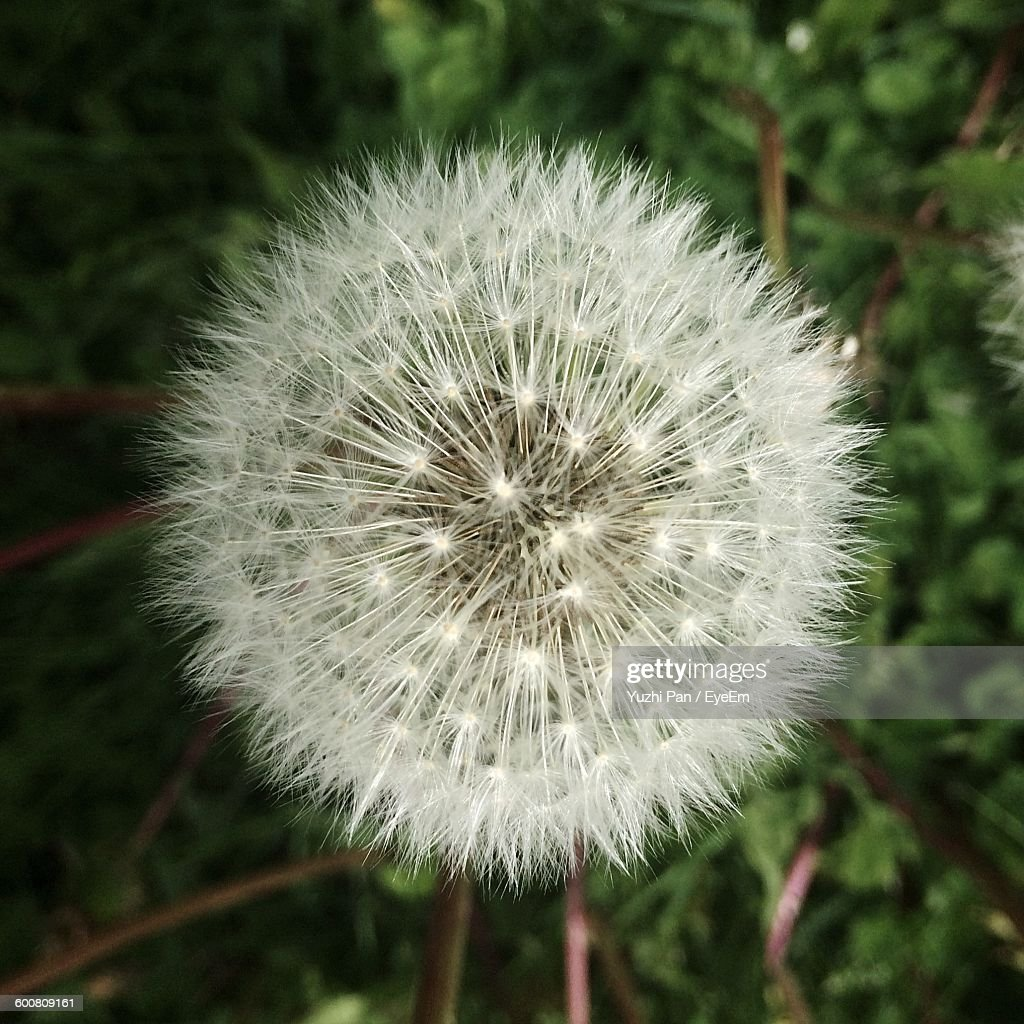 Close-Up Of Dandelion Growing Outdoors : ストックフォト