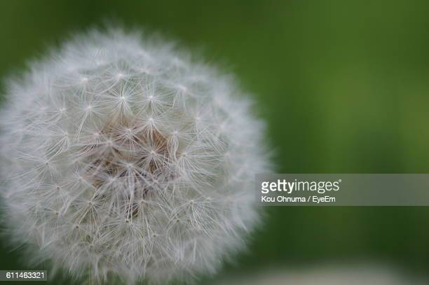 Close-Up Of Dandelion Growing Outdoors