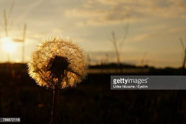 Close-Up Of Dandelion On Field Against Sky During Sunset