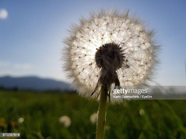 close-up of dandelion on field against sky - karin eidenschink stock-fotos und bilder