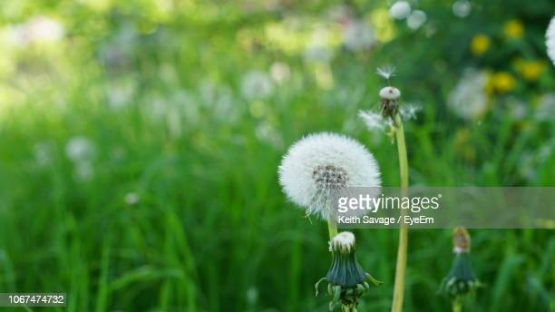close-up of dandelion on field - keith savage stock-fotos und bilder