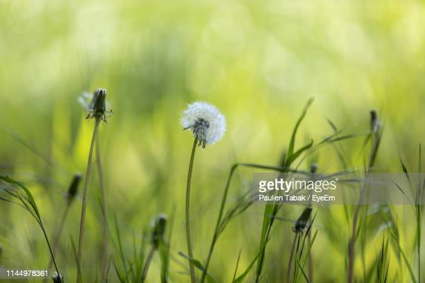 close-up of dandelion on field - paulien tabak 個照片及圖片檔