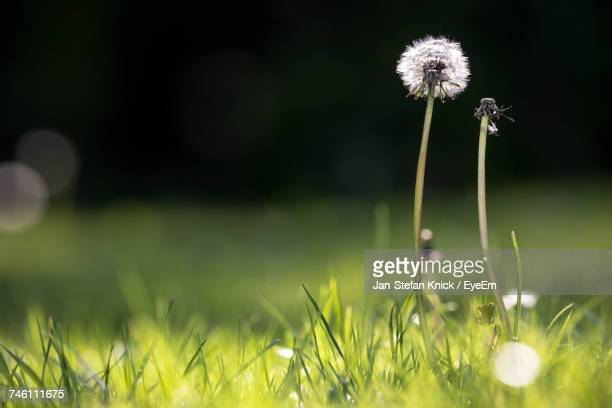 close-up of dandelion on field - uncultivated stock pictures, royalty-free photos & images