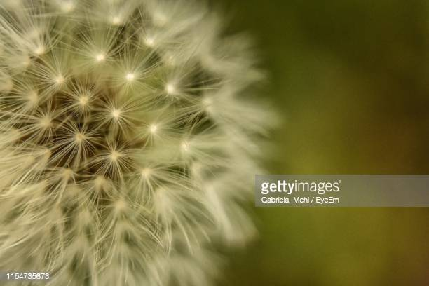 close-up of dandelion on plant - gabriela stock pictures, royalty-free photos & images