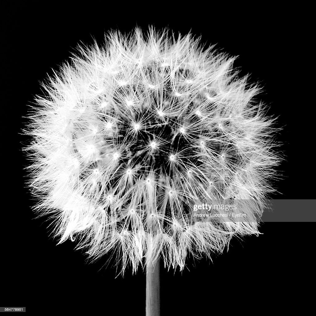 Closeup Of Dandelion Over Black Background High-Res Stock