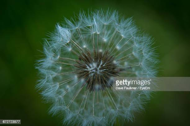 close-up of dandelion - dave faulkner eye em stock pictures, royalty-free photos & images
