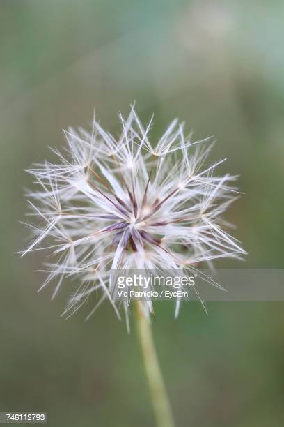close-up of dandelion - ratnieks stock pictures, royalty-free photos & images
