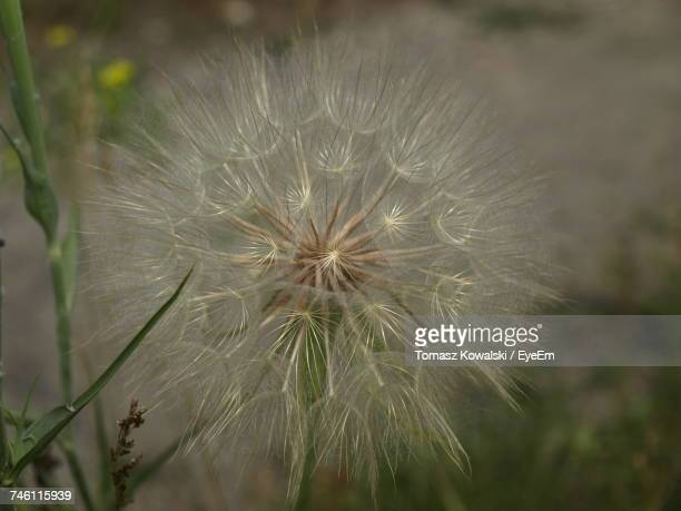 close-up of dandelion - flower part stock pictures, royalty-free photos & images