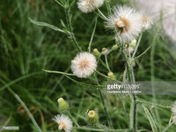 close-up of dandelion - muro stock photos and pictures