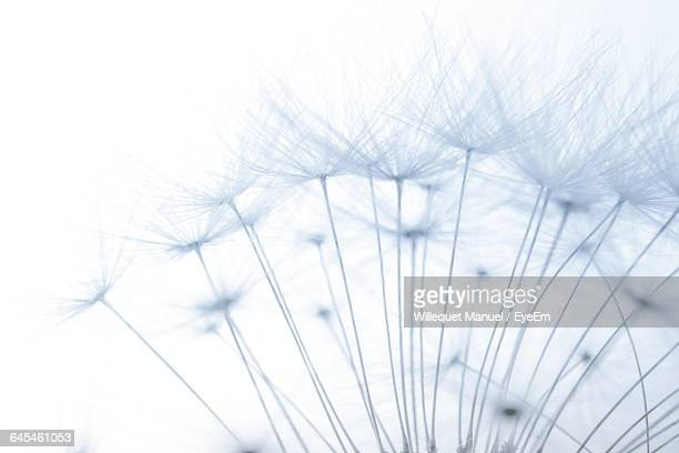 Close-Up Of Dandelion Seeds Against White Background