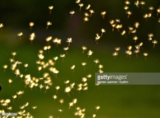 Close-Up Of Dandelion Seeds Blowing From Stem