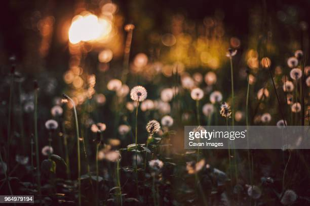 Close-up of dandelions growing on field at forest during sunset