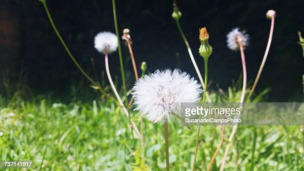 close-up of dandelions - uncultivated stock pictures, royalty-free photos & images
