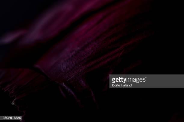 closeup of dark skin of a red onion - dorte fjalland fotografías e imágenes de stock
