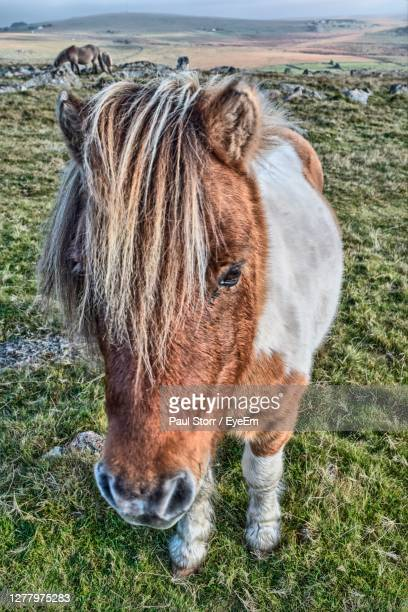 close-up of dartmoor pony standing on moor - animal head stock pictures, royalty-free photos & images