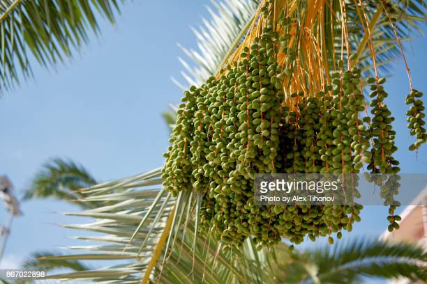 close-up of date palm (phoenix dactylifera) - date palm tree stock pictures, royalty-free photos & images