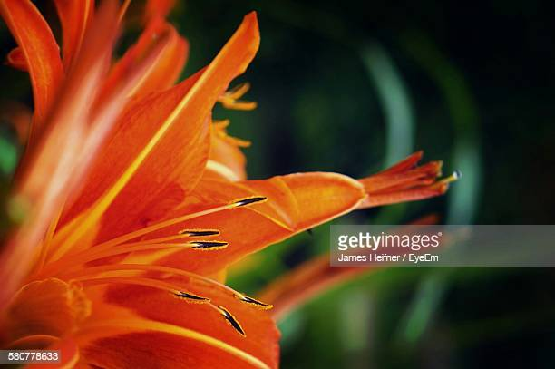 Close-Up Of Day Lilies Blooming In Park