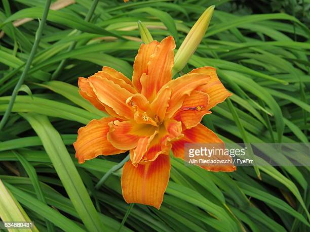 Close-Up Of Day Lily Blooming On Field