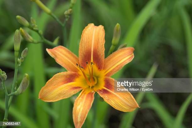 close-up of day lily blooming outdoors - lily wilson stock pictures, royalty-free photos & images