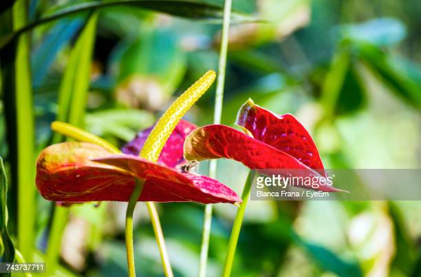 close-up of day lily blooming outdoors - fran�a imagens e fotografias de stock