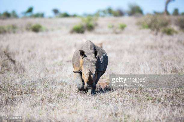 close-up of dead animal on field - south africa stock pictures, royalty-free photos & images