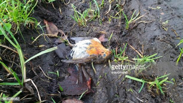 close-up of dead bird. the european robin - pettirosso foto e immagini stock