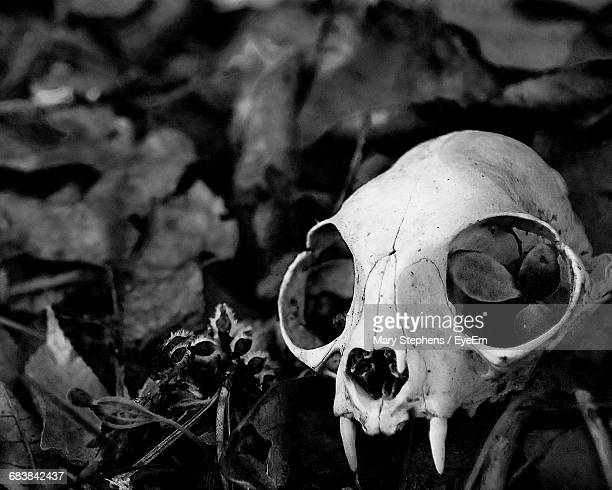 close-up of dead cat skull on field - cat skeleton stock photos and pictures