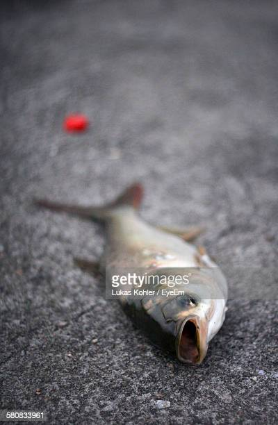 Close-Up Of Dead Fish On Street