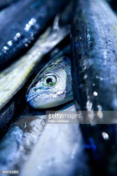 close-up of dead fish - dead body - fotografias e filmes do acervo
