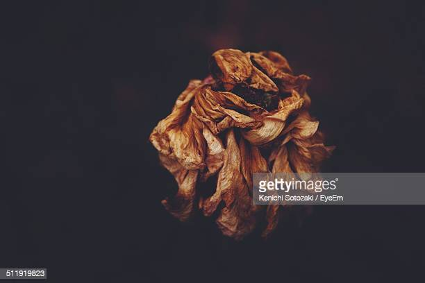 close-up of dead flower over black background - dead plant stock pictures, royalty-free photos & images