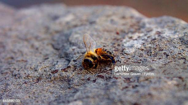 close-up of dead honey bee on rock - tod stock-fotos und bilder