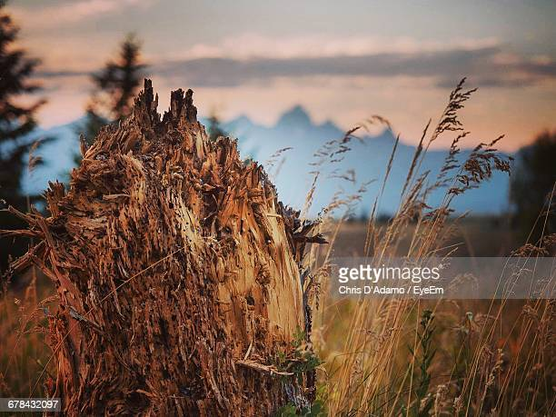 close-up of dead plant by crops on field - adamo photos et images de collection