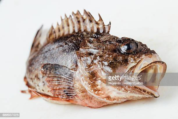 Close-Up Of Dead Scorpionfish On White Background