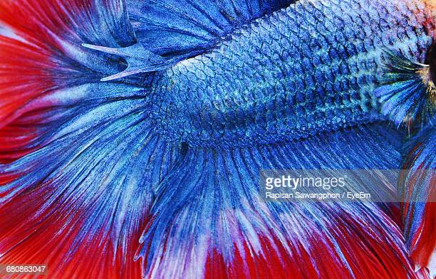 Close-Up Of Dead Siamese Fighting Fish