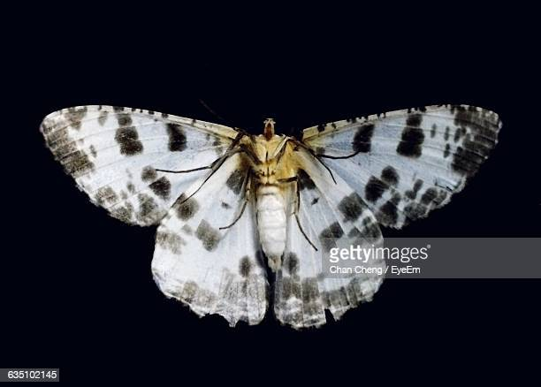 Close-Up Of Dead White Moth Against Black Background