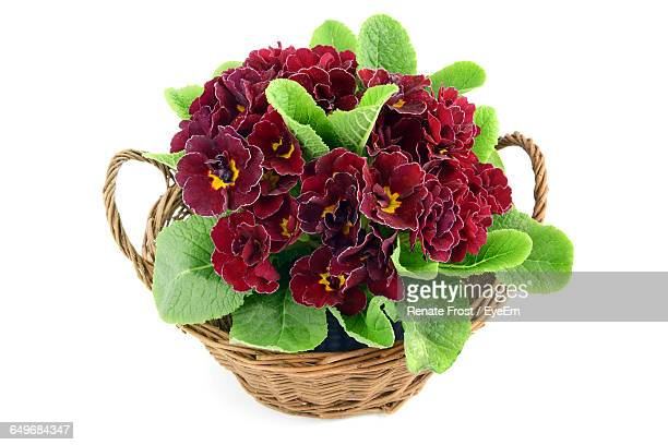 Close-Up Of deep red primrose (primula) in a basket Over White Background