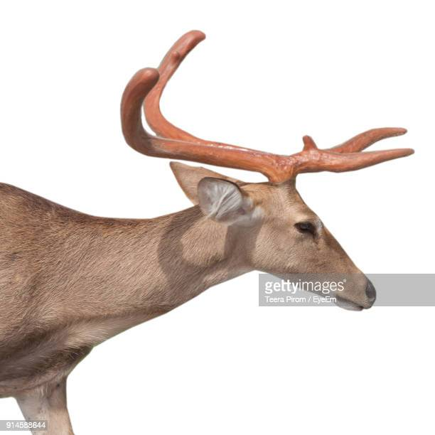Close-Up Of Deer Against White Background