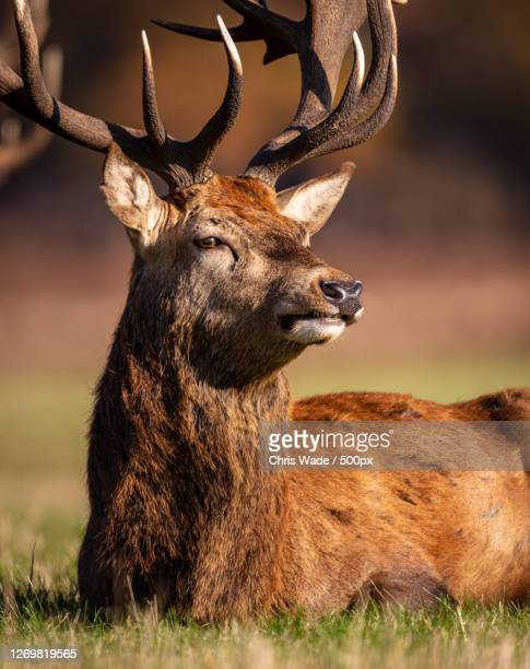 close-up of deer in forest, richmond, united kingdom - animal body part stock pictures, royalty-free photos & images