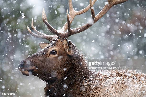 close-up of deer in snow - renna foto e immagini stock