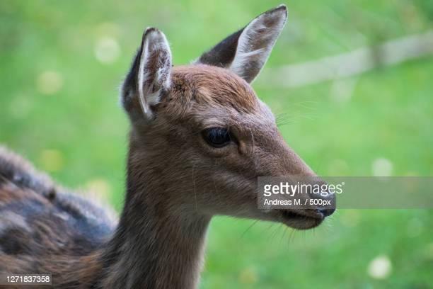close-up of deer looking away, neu wulmstorf, germany - neu ストックフォトと画像