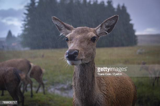 Close-Up Of Deer On Field During Rain