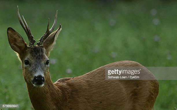 Close-Up Of Deer On Grassy Field