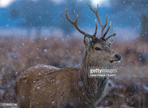 close-up of deer on snow - antler stock pictures, royalty-free photos & images