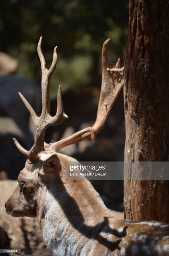 Close-Up Of Deer : Photo