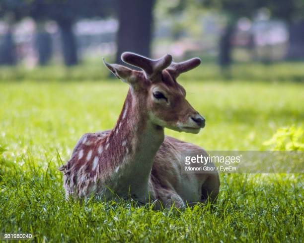 Close-Up Of Deer Sitting On Grassy Field