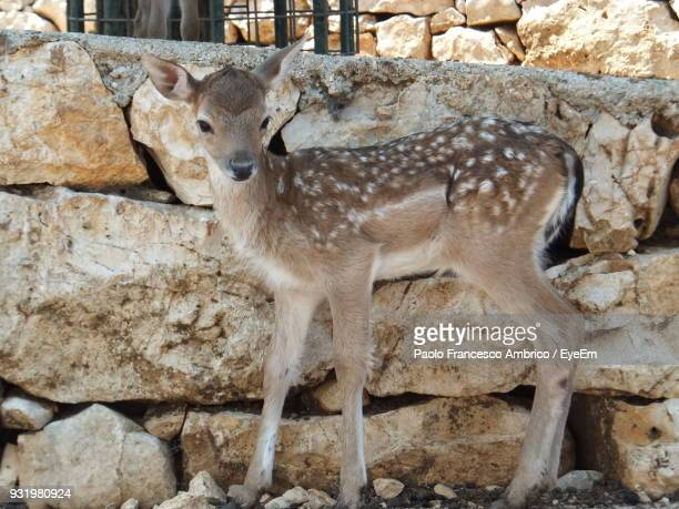 Close-Up Of Deer Standing Against Stone Wall