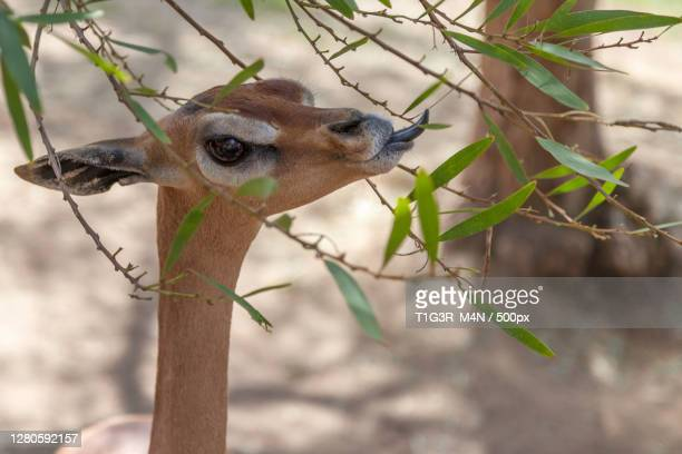 close-up of deer standing by tree, san diego, california, united states - images stock-fotos und bilder