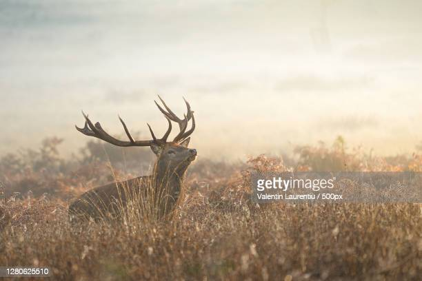 close-up of deer standing on field against sky during sunset,richmond,united kingdom,uk - stag stock pictures, royalty-free photos & images