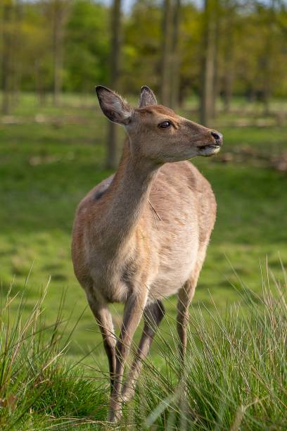 Close-up of deer standing on field,Kongens Lyngby,Denmark