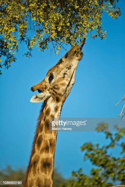 close-up of desert giraffe browsing with blue sky behind in the hoanib valley, namib desert, namibia - 4k resolution stock pictures, royalty-free photos & images
